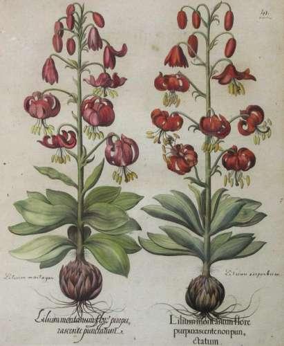 Basilius BESLER (1561 - 1629). Turkish lily.