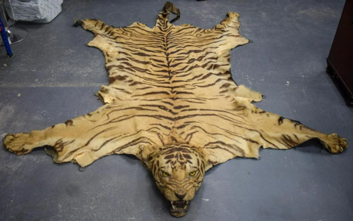 A LATE VICTORIAN TAXIDERMY FULL TIGER SKIN with teeth