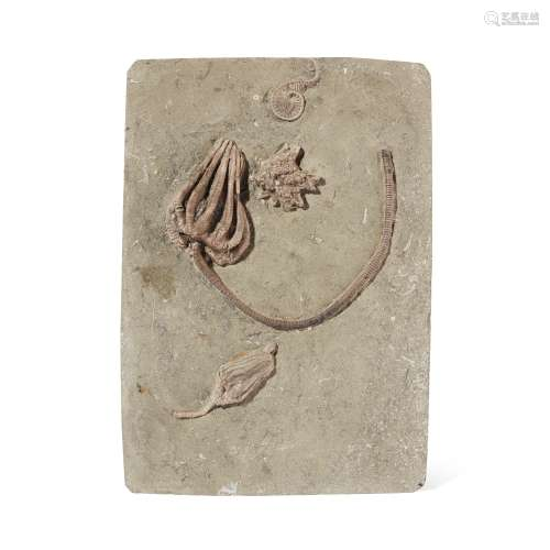 CRINOID PLAQUE CRAWFORDSVILLE, USA, CARBONIFEROUS PERIOD, 30...