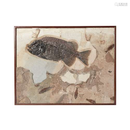 PHAREODUS FISH FOSSIL PLAQUE GREEN RIVER FORMATION, USA, LOW...
