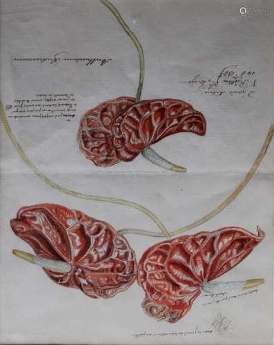 J** RUTTEN (Fl.c.1887) STUDY OF ANTHURIUM ANDREANUM Inscribe...